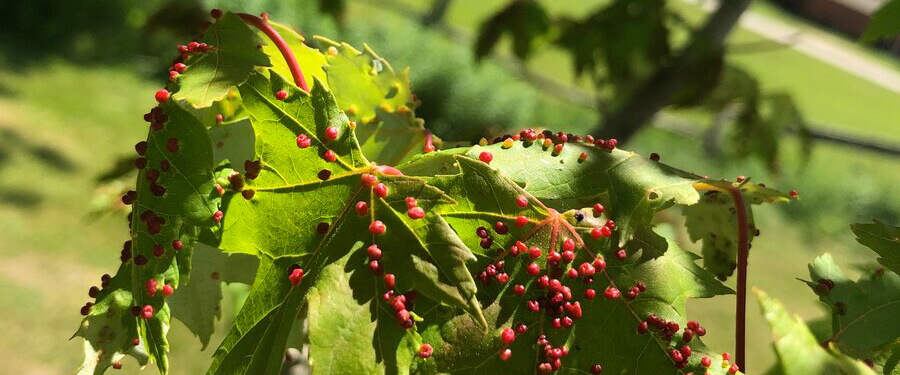 Bumpy Maple Leaves? Gall Mites Might Be The Problem