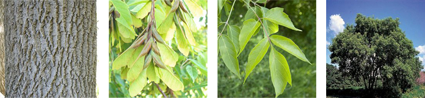 A compilation of 4 images showing the bark, fruit, leaves, and full profile of the Manitoba Maple